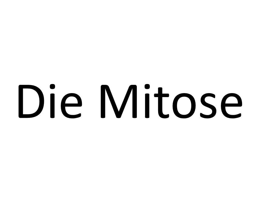 Die Mitose