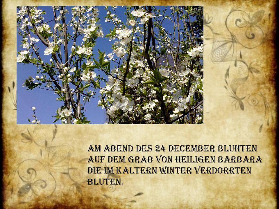 Am Abend des 24 December Bluhten auf dem Grab von heiligen Barbara die im Kaltern Winter verdorrten Bluten.