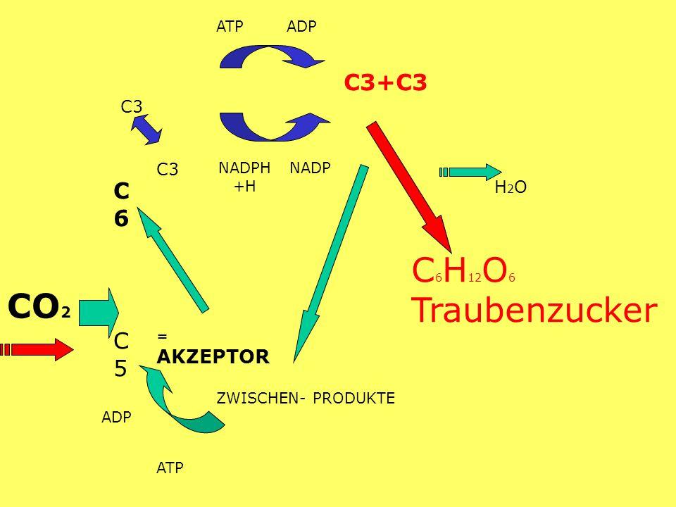 ATP ADP C3 C6 C6 NADPH +H NADP H2O H2O C5 C5 = AKZEPTOR ZWISCHEN- PRODUKTE ATP C 6 H 12 O 6 Traubenzucker ADP CO 2 C3+C3