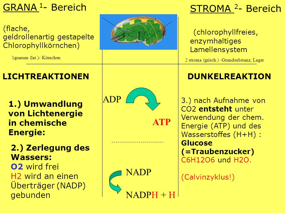GRANA 1 - Bereich (flache, geldrollenartig gestapelte Chlorophyllkörnchen) STROMA 2 - Bereich (chlorophyllfreies, enzymhaltiges Lamellensystem LICHTREAKTIONEN DUNKELREAKTION 1.) Umwandlung von Lichtenergie in chemische Energie: ADP ATP 2.) Zerlegung des Wassers: O2 wird frei H2 wird an einen Überträger (NADP) gebunden NADP NADPH + H 3.) nach Aufnahme von CO2 entsteht unter Verwendung der chem.