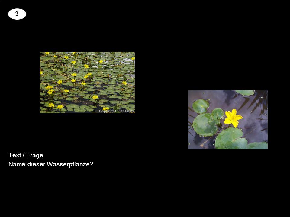Text / Frage Name dieser Wasserpflanze 3