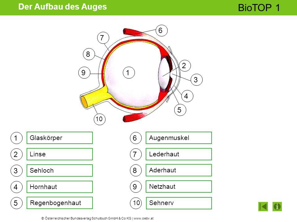© Österreichischer Bundesverlag Schulbuch GmbH & Co KG | www.oebv.at BioTOP 1 Der Aufbau des Auges 1 2 3 4 5 6 7 8 9 Glaskörper Linse Sehloch Hornhaut