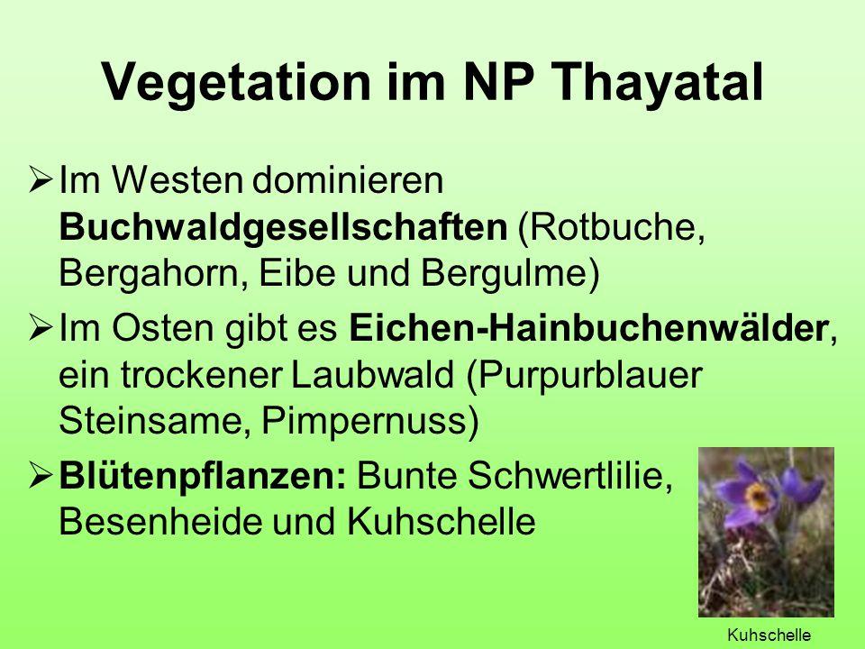 Vegetation im NP Thayatal  Im Westen dominieren Buchwaldgesellschaften (Rotbuche, Bergahorn, Eibe und Bergulme)  Im Osten gibt es Eichen-Hainbuchenwälder, ein trockener Laubwald (Purpurblauer Steinsame, Pimpernuss)  Blütenpflanzen: Bunte Schwertlilie, Besenheide und Kuhschelle Kuhschelle