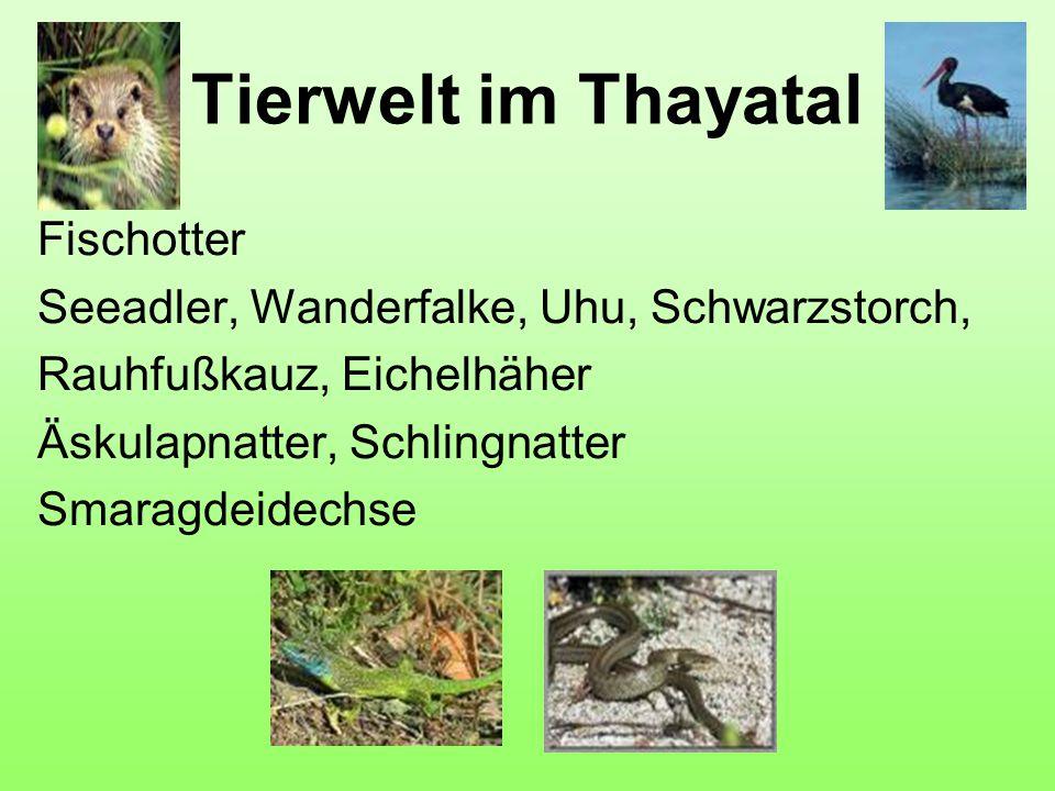Tierwelt im Thayatal Fischotter Seeadler, Wanderfalke, Uhu, Schwarzstorch, Rauhfußkauz, Eichelhäher Äskulapnatter, Schlingnatter Smaragdeidechse
