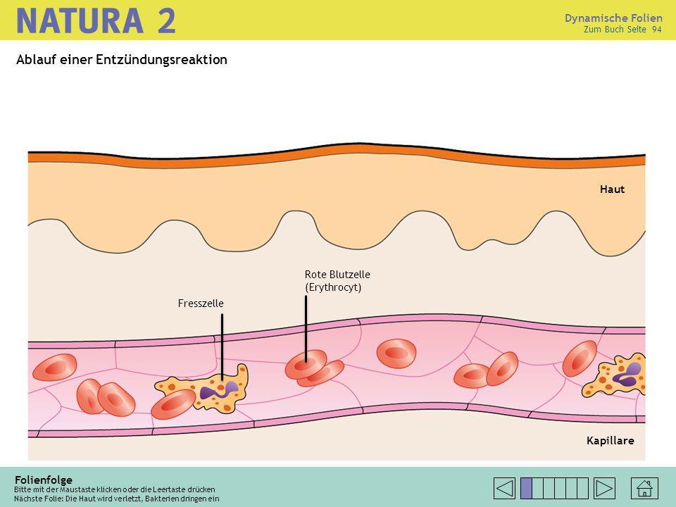 Zum Buch Seite 94 Folienfolge Bitte mit der Maustaste klicken oder die Leertaste drücken Nächste Folie: Die Haut wird verletzt, Bakterien dringen ein Haut Kapillare Rote Blutzelle (Erythrocyt) Ablauf einer Entzündungsreaktion Fresszelle