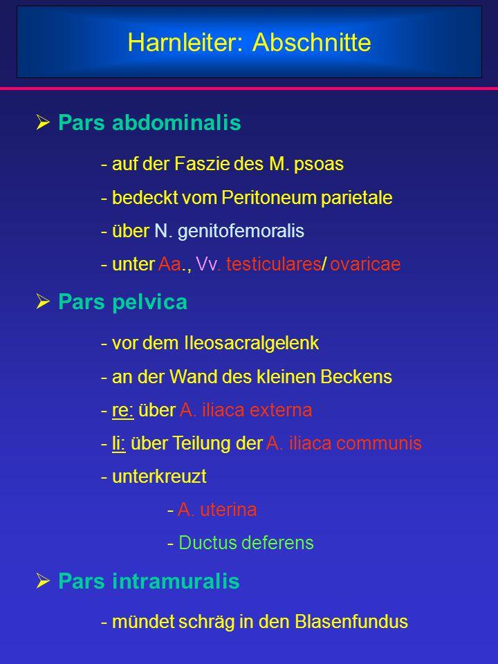 Harnleiter: Abschnitte  Pars abdominalis - auf der Faszie des M. psoas - bedeckt vom Peritoneum parietale - über N. genitofemoralis - unter Aa., Vv.