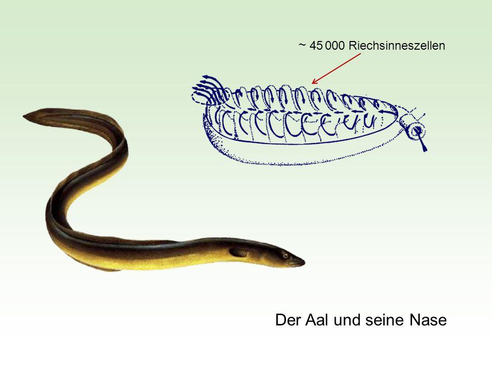 Duftstoff Wahlapparatur für die Röhrendressur eines Aals Aalversteck Gummiröhre (Harald Teichmann, 1956) Phenylethylalkohol (Rosenduft) Aal wird dressiert, nur diejenige Röhre als Versteck zu wählen, durch die der Duftstoff strömt.