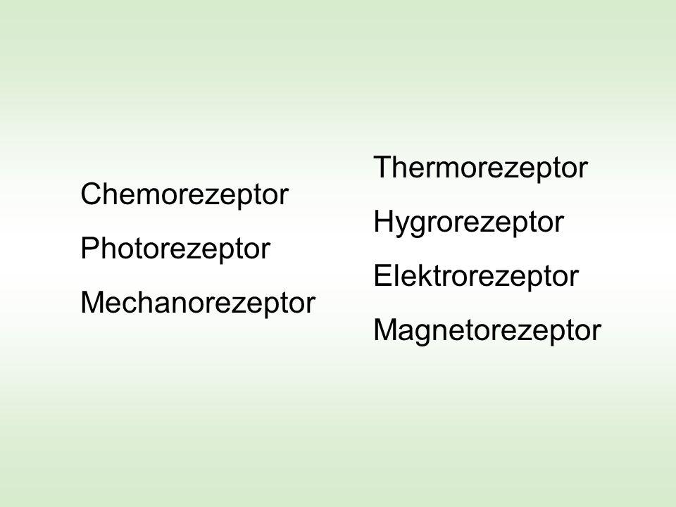 Wie funktioniert ein biologischer Rezeptor .