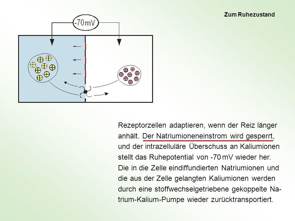 Wie funktioniert eine Riechsinneszelle