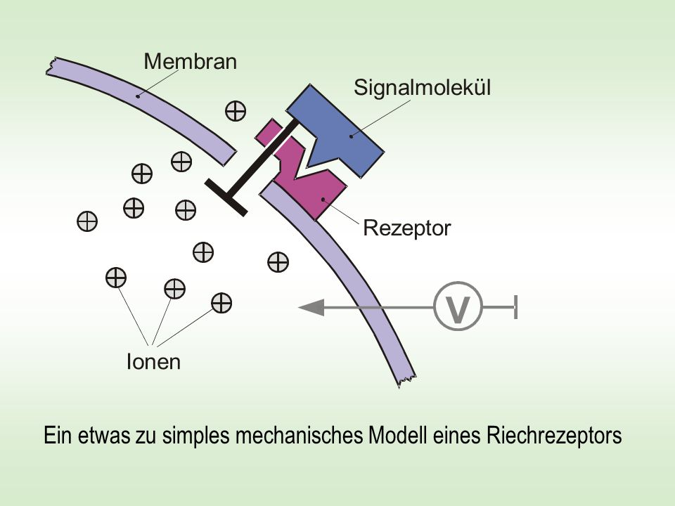 Phenomenologisches Modell der Geruchserkennung Wir empfinden vielleicht kugelförmige Moleküle als kampferartig, scheibenförmige Moleküle als moschusartig, keilförmige Moleküle als pfefferminzartig, stabförmige Moleküle als ätherartig, u.s.w.