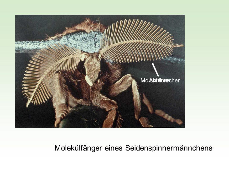Wird im Experiment ein Schmetterlingsmännchen 1 s lang von einem Duftstrom mit 2 000 Bombykolmolekülen/cm 3 und einer Windgeschwindigkeit von 60 cm/s angeblasen, so löst dies einen Suchflug windaufwärts aus.