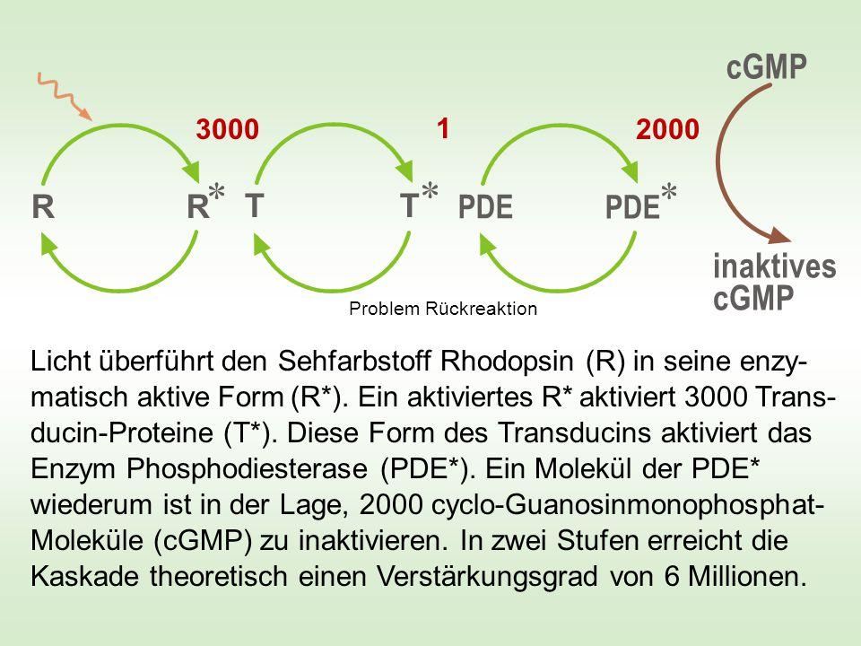 Photon -70 mV * aktiviertes Rhodopsin R hält Ionentore geschlossen