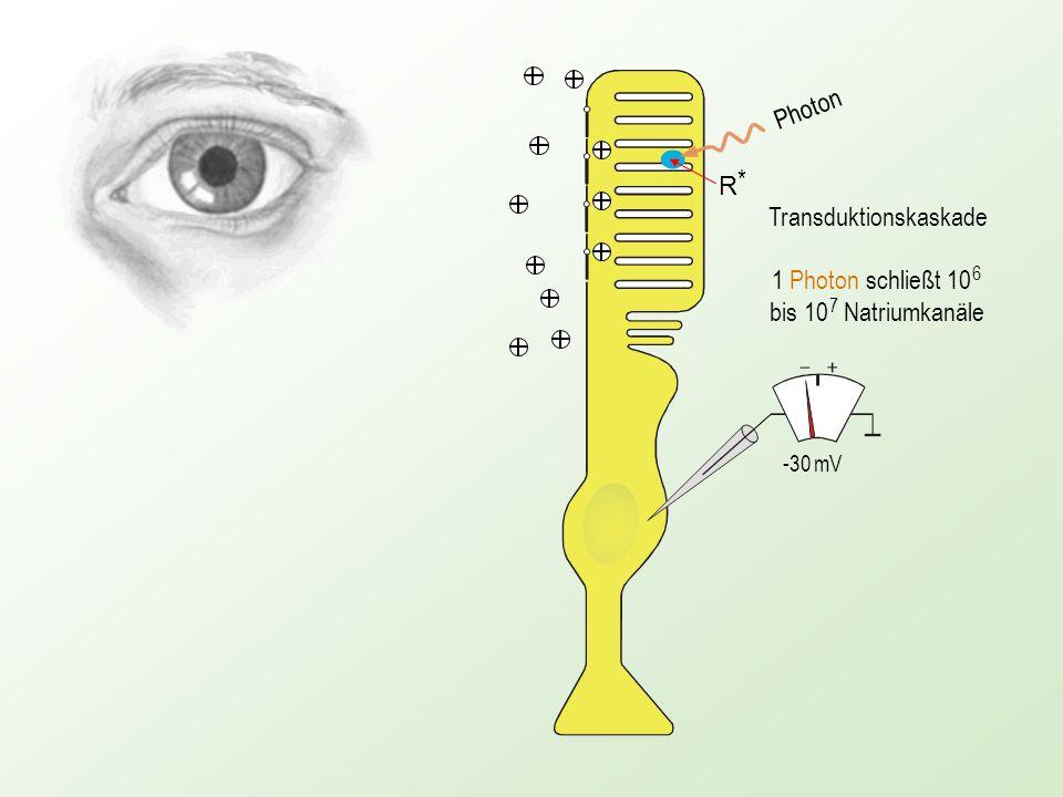 Photon -70 mV R*R* Wiederherstellung des Ruhepotenzials Verkürzt dargestellt .