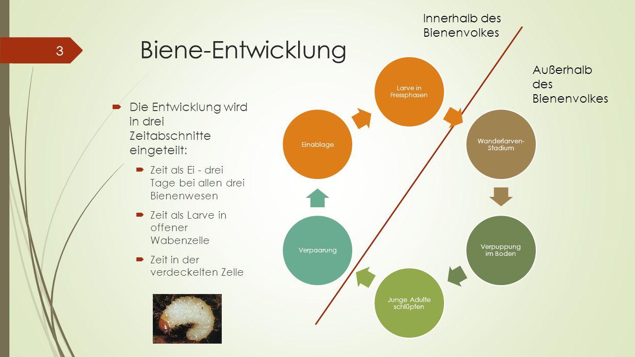 Biene-Entwicklung  Die Entwicklung wird in drei Zeitabschnitte eingeteilt:  Zeit als Ei - drei Tage bei allen drei Bienenwesen  Zeit als Larve in o