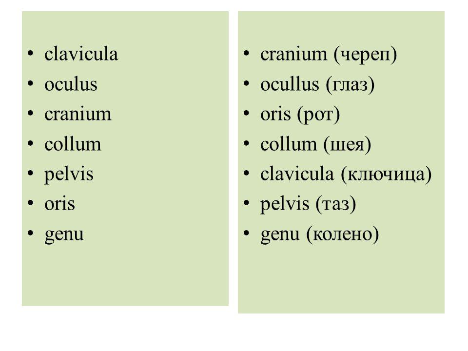 clavicula oculus cranium collum pelvis oris genu cranium (череп) ocullus (глаз) oris (рот) collum (шея) clavicula (ключица) pelvis (таз) genu (колено)
