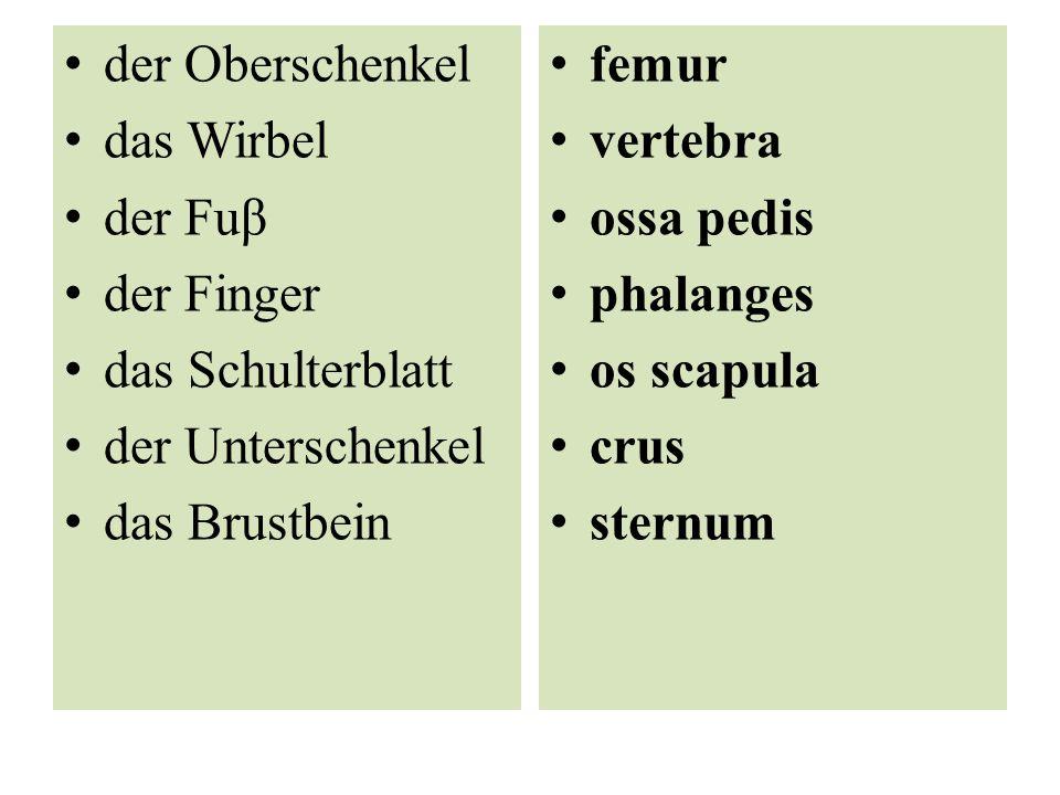 der Oberschenkel das Wirbel der Fuβ der Finger das Schulterblatt der Unterschenkel das Brustbein femur vertebra ossa pedis phalanges os scapula crus sternum