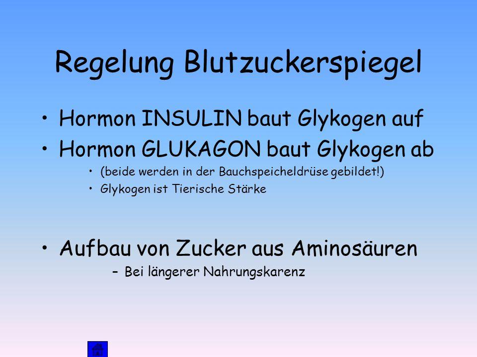 Regelung Blutzuckerspiegel Hormon INSULIN baut Glykogen auf Hormon GLUKAGON baut Glykogen ab (beide werden in der Bauchspeicheldrüse gebildet!) Glykogen ist Tierische Stärke Aufbau von Zucker aus Aminosäuren –Bei längerer Nahrungskarenz