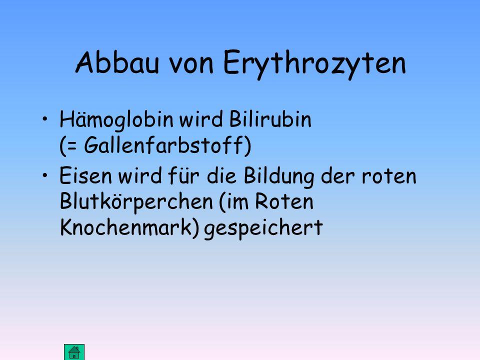 Abbau von Erythrozyten Hämoglobin wird Bilirubin (= Gallenfarbstoff) Eisen wird für die Bildung der roten Blutkörperchen (im Roten Knochenmark) gespeichert