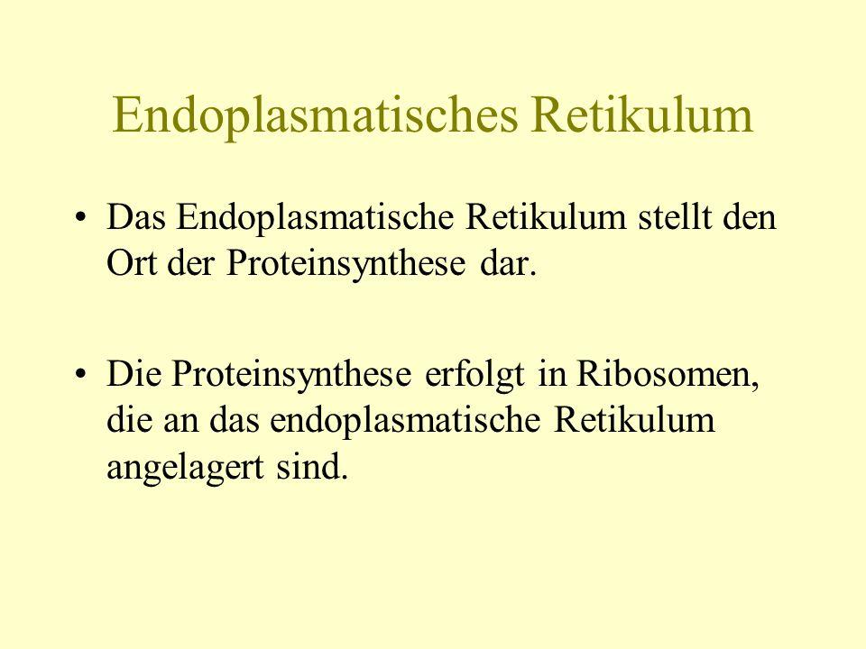 Endoplasmatisches Retikulum Das Endoplasmatische Retikulum stellt den Ort der Proteinsynthese dar. Die Proteinsynthese erfolgt in Ribosomen, die an da