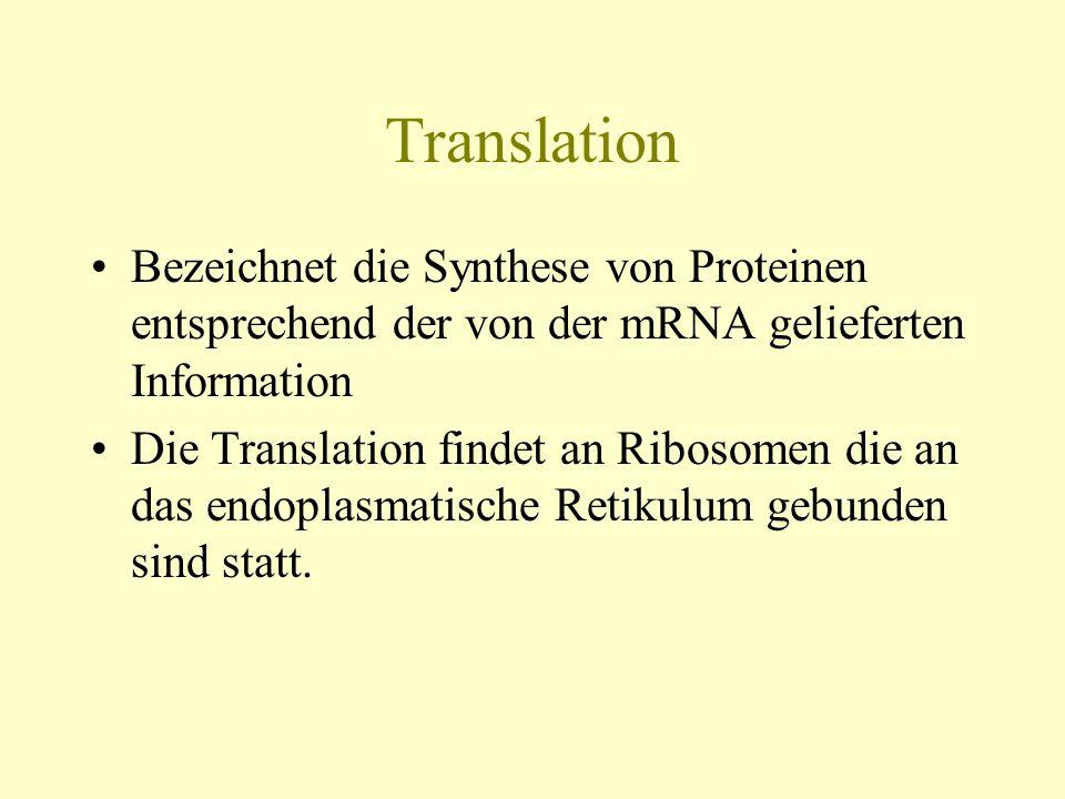 Translation Bezeichnet die Synthese von Proteinen entsprechend der von der mRNA gelieferten Information Die Translation findet an Ribosomen die an das