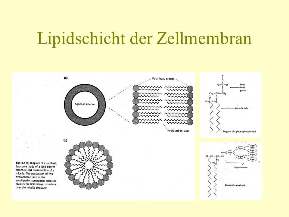 Lipidschicht der Zellmembran