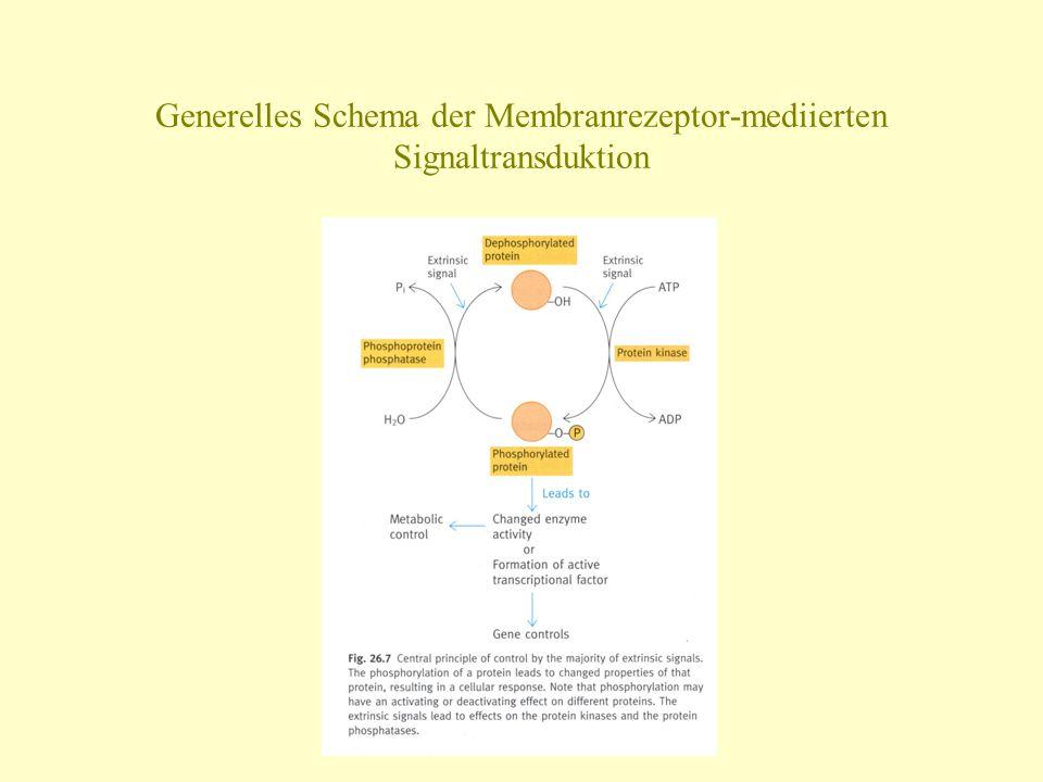 Generelles Schema der Membranrezeptor-mediierten Signaltransduktion