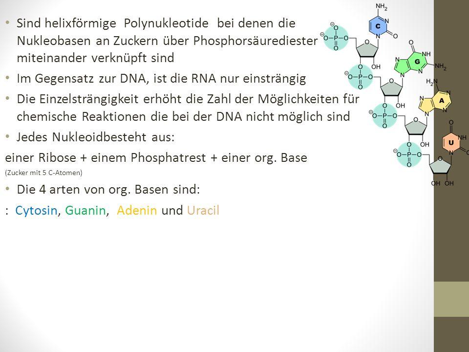 Sind helixförmige Polynukleotide bei denen die Nukleobasen an Zuckern über Phosphorsäurediester miteinander verknüpft sind Im Gegensatz zur DNA, ist d