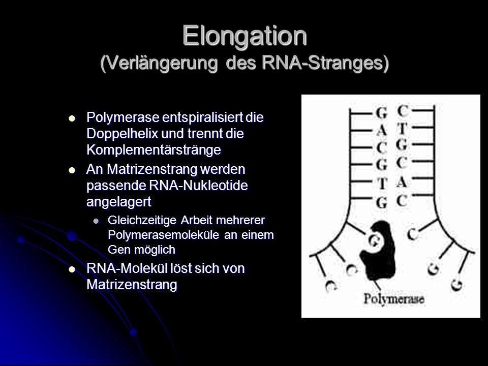 Elongation (Verlängerung des RNA-Stranges) Polymerase entspiralisiert die Doppelhelix und trennt die Komplementärstränge Polymerase entspiralisiert die Doppelhelix und trennt die Komplementärstränge An Matrizenstrang werden passende RNA-Nukleotide angelagert An Matrizenstrang werden passende RNA-Nukleotide angelagert Gleichzeitige Arbeit mehrerer Polymerasemoleküle an einem Gen möglich Gleichzeitige Arbeit mehrerer Polymerasemoleküle an einem Gen möglich RNA-Molekül löst sich von Matrizenstrang RNA-Molekül löst sich von Matrizenstrang