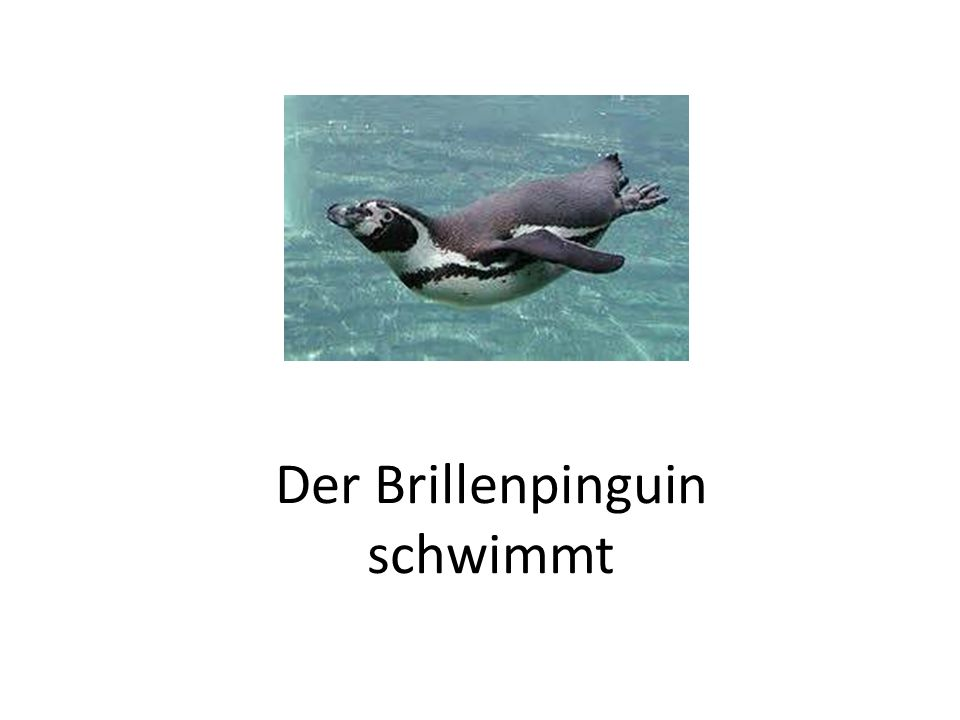 Der Brillenpinguin schwimmt