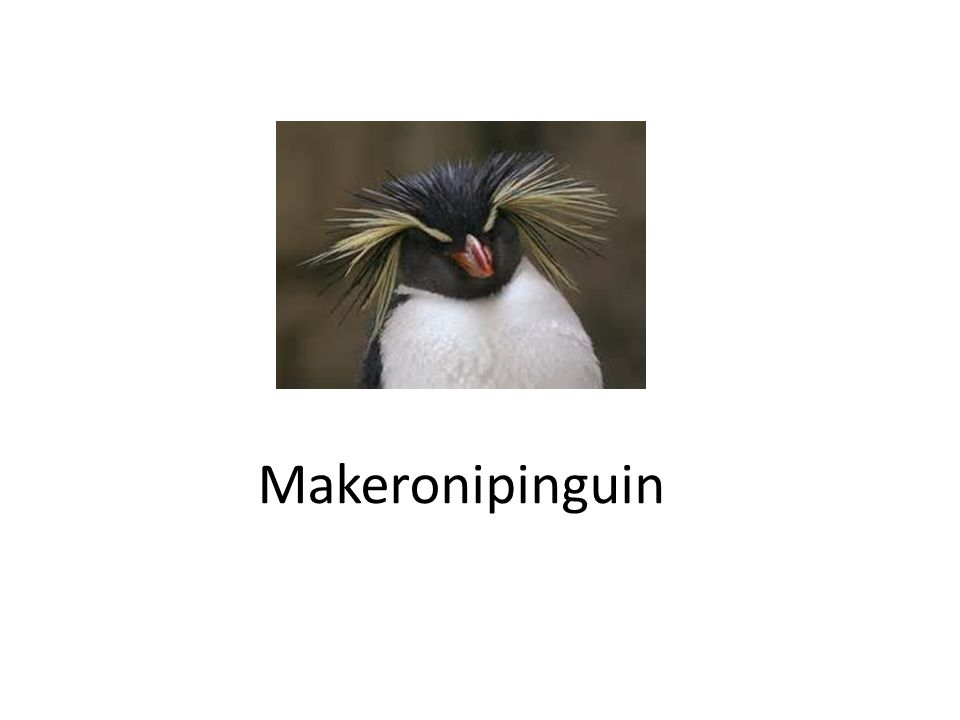 Makeronipinguin