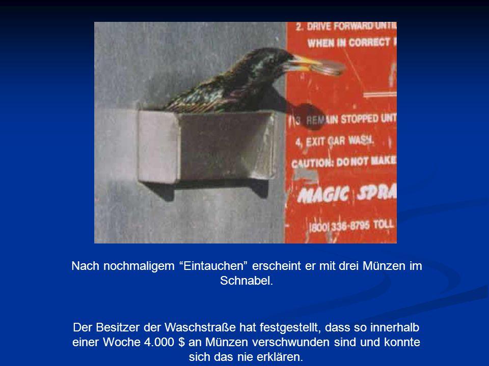 """Nach nochmaligem """"Eintauchen"""" erscheint er mit drei Münzen im Schnabel. Der Besitzer der Waschstraße hat festgestellt, dass so innerhalb einer Woche 4"""