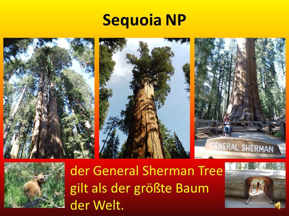Sequoia NP der General Sherman Tree gilt als der größte Baum der Welt.