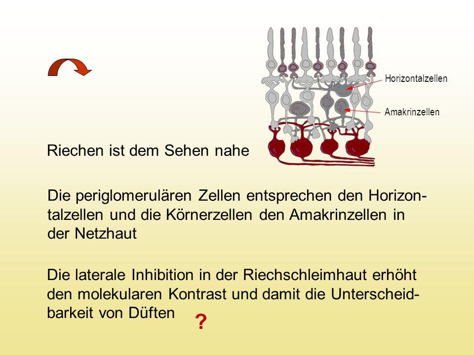 Riechen ist dem Sehen nahe Die periglomerulären Zellen entsprechen den Horizon- talzellen und die Körnerzellen den Amakrinzellen in der Netzhaut Die laterale Inhibition in der Riechschleimhaut erhöht den molekularen Kontrast und damit die Unterscheid- barkeit von Düften Horizontalzellen Amakrinzellen ?