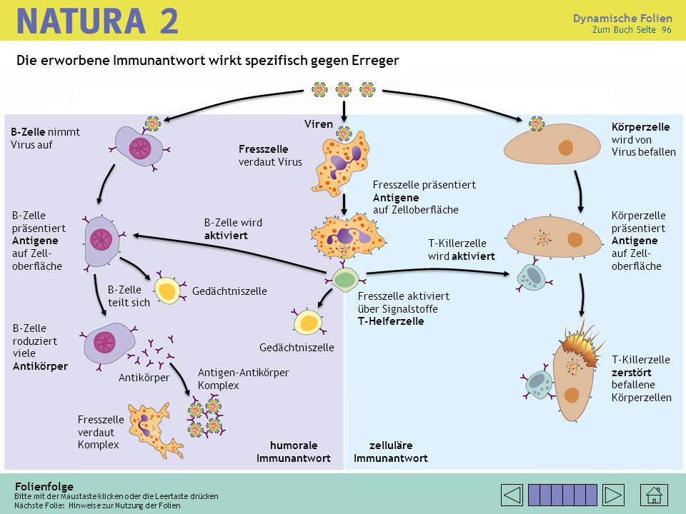 Dynamische Folien Folienfolge Bitte mit der Maustaste klicken oder die Leertaste drücken Nächste Folie: B-Zelle produziert Antikörper, Antigen-Antikör