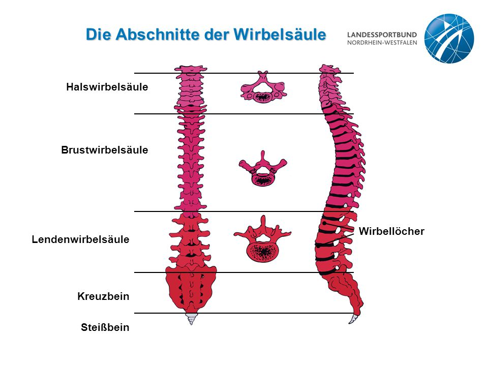 Die Abschnitte der Wirbelsäule Halswirbelsäule Brustwirbelsäule Lendenwirbelsäule Kreuzbein Steißbein Wirbellöcher