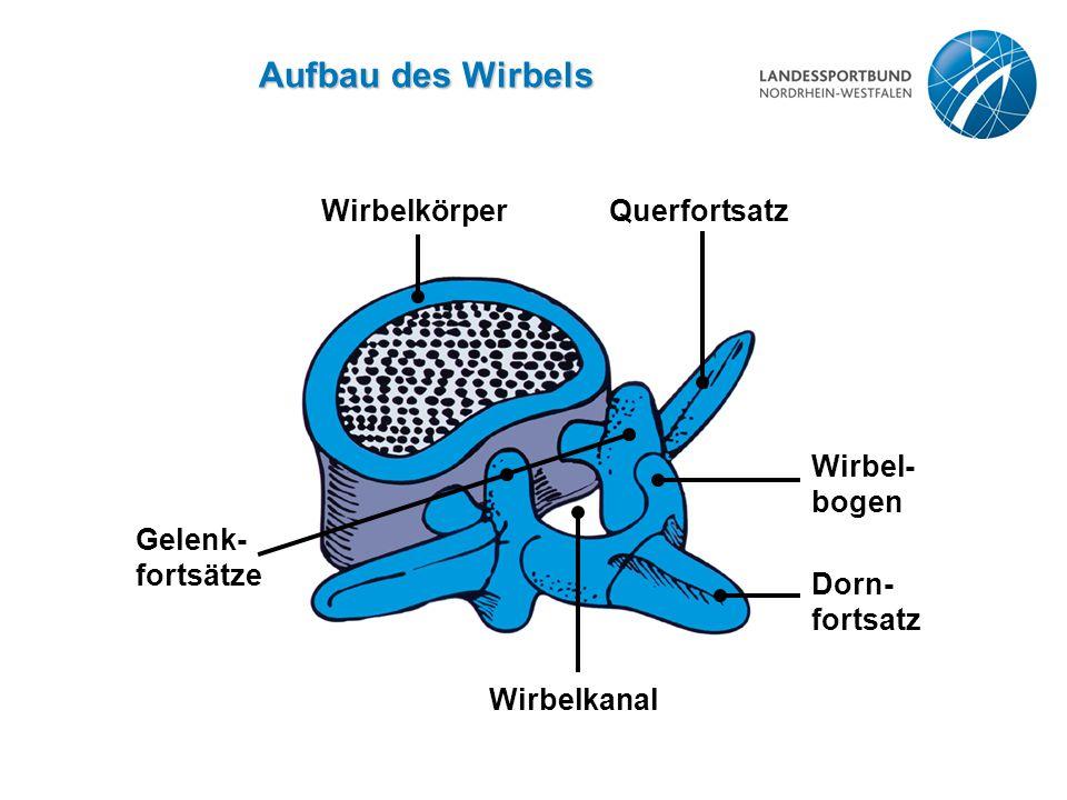 Aufbau des Wirbels WirbelkörperQuerfortsatz Wirbel- bogen Dorn- fortsatz Wirbelkanal Gelenk- fortsätze