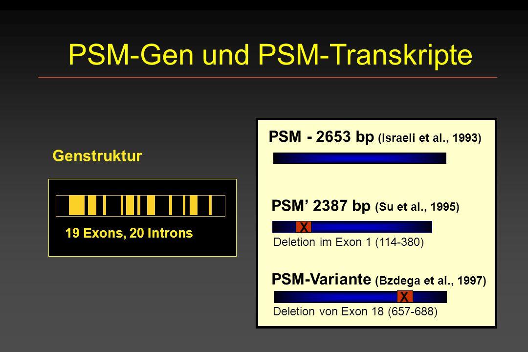 PSM-Gen und PSM-Transkripte 19 Exons, 20 Introns Genstruktur PSM' 2387 bp (Su et al., 1995) X PSM - 2653 bp (Israeli et al., 1993) PSM-Variante (Bzdeg