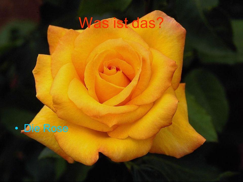 Was ist das Die Rose