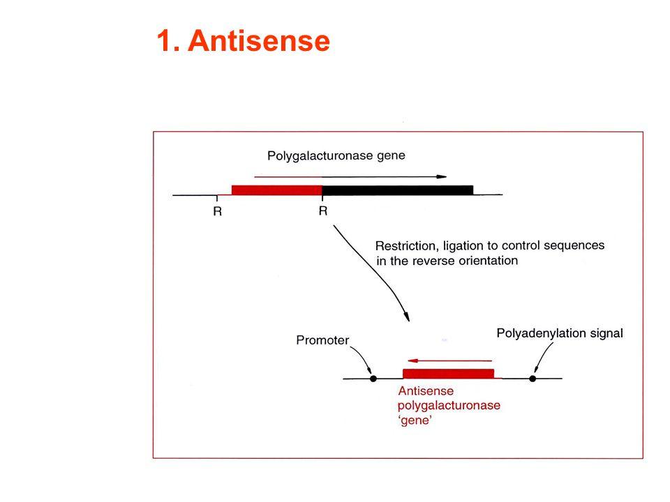 Anwendungen von RNAi in der Biotechnologie Einführung von Resistenzen gegen Viren und Agrobakterien Veränderung von Genaktivitäten zur Verbesserung von Pflanzen
