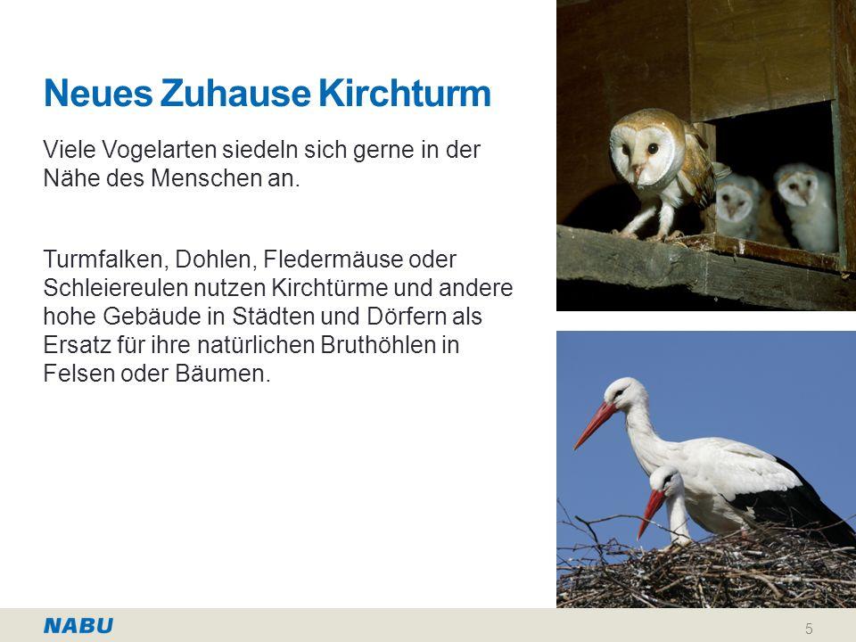 Neues Zuhause Kirchturm Viele Vogelarten siedeln sich gerne in der Nähe des Menschen an.