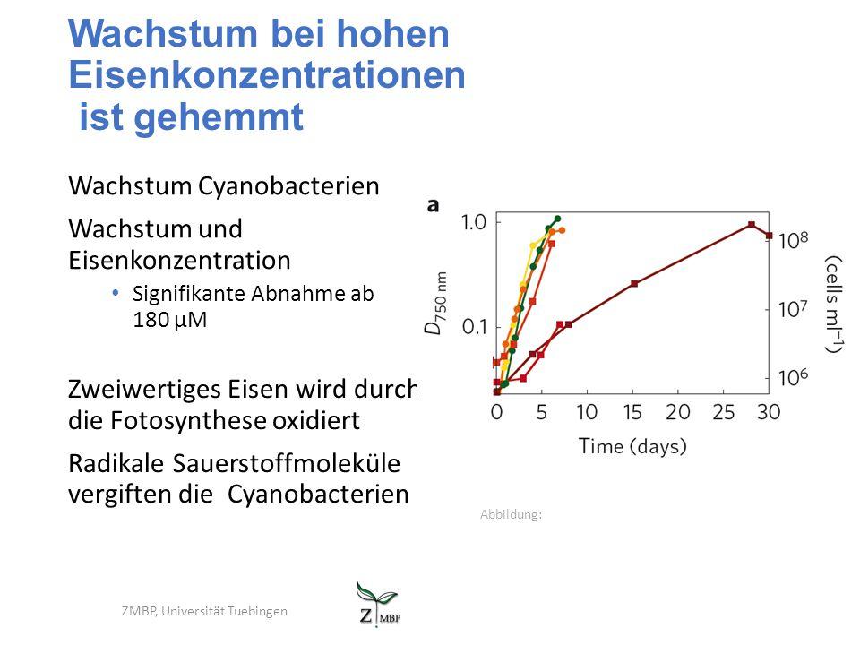 Wachstum bei hohen Eisenkonzentrationen ist gehemmt Wachstum Cyanobacterien Wachstum und Eisenkonzentration Signifikante Abnahme ab 180 µM ZMBP, Unive