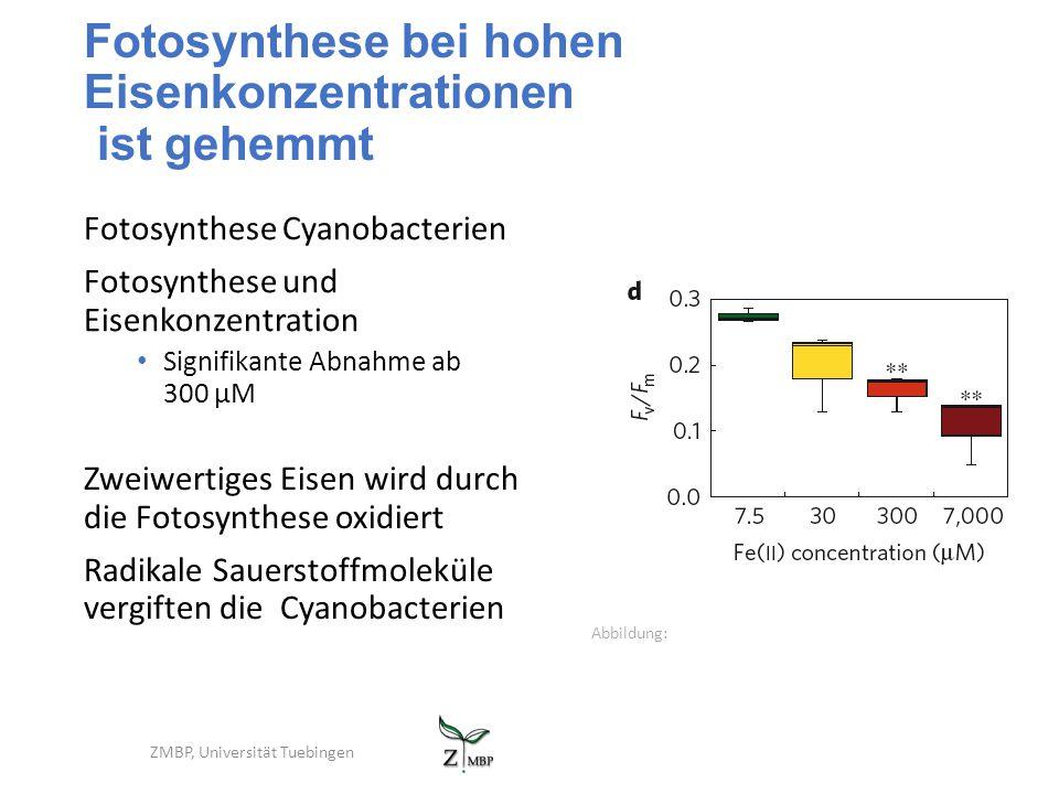 Fotosynthese bei hohen Eisenkonzentrationen ist gehemmt Fotosynthese Cyanobacterien Fotosynthese und Eisenkonzentration Signifikante Abnahme ab 300 µM