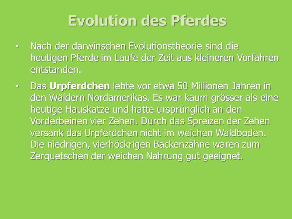 Evolution des Pferdes Nach der darwinschen Evolutionstheorie sind die heutigen Pferde im Laufe der Zeit aus kleineren Vorfahren entstanden. Nach der d