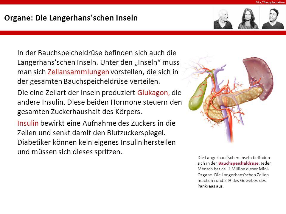 """02a / Transplantation Organe: Die Langerhans'schen Inseln In der Bauchspeicheldrüse befinden sich auch die Langerhans'schen Inseln. Unter den """"Inseln"""""""