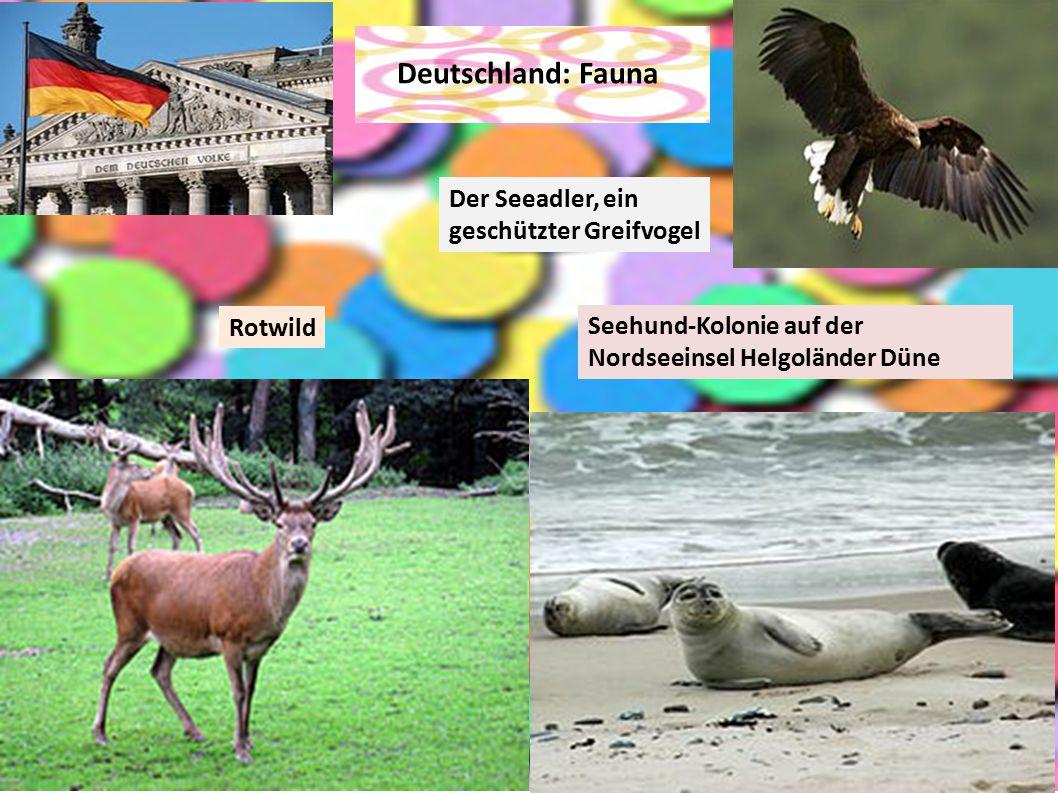 Deutschland: Fauna Der Seeadler, ein geschützter Greifvogel Rotwild Seehund-Kolonie auf der Nordseeinsel Helgoländer Düne