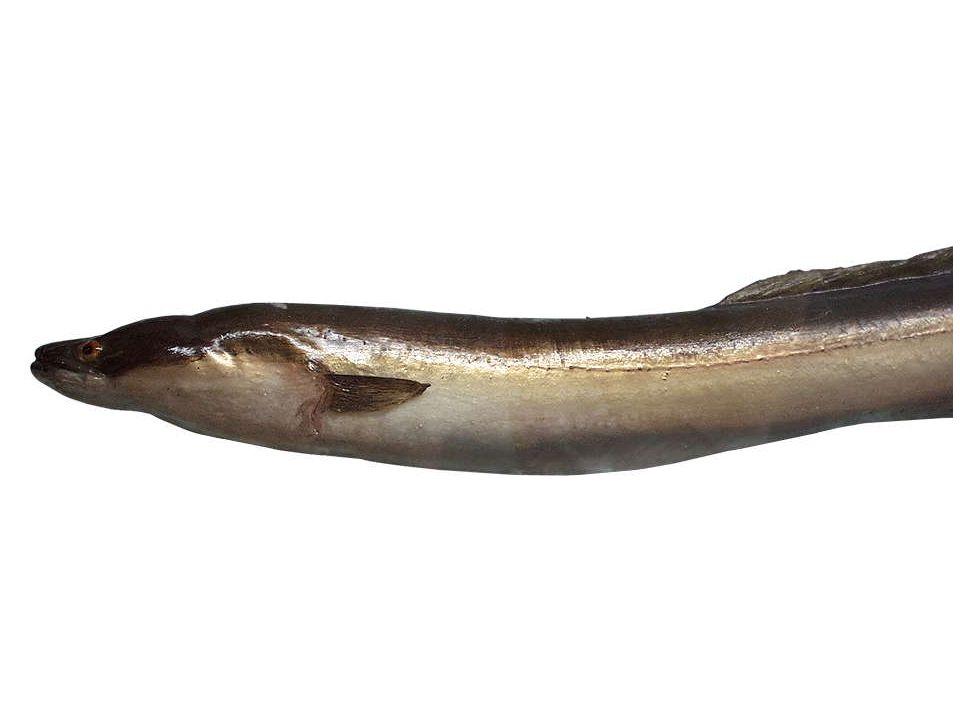 Aal (Anguilla anguilla) Männchen bis 50cm, Weibchen bis 150cm Der schlangenähnliche Aal besitzt keine Bauchflossen, er lebt vorwiegend am Boden der Gewässer in Höhlungen oder zwischen den Wasserpflanzen.
