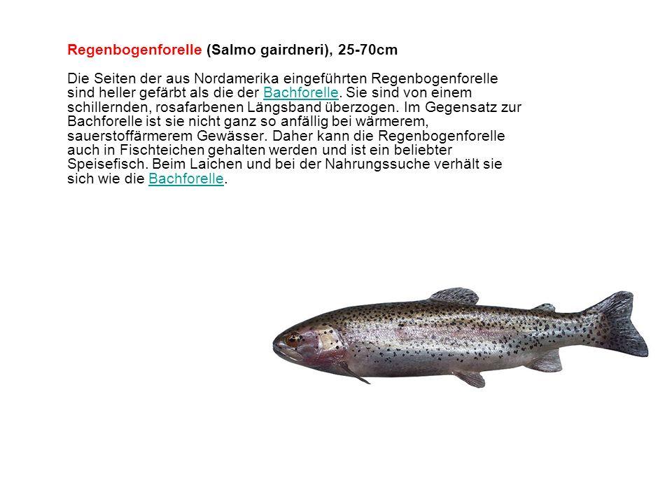 Regenbogenforelle (Salmo gairdneri), 25-70cm Die Seiten der aus Nordamerika eingeführten Regenbogenforelle sind heller gefärbt als die der Bachforelle.