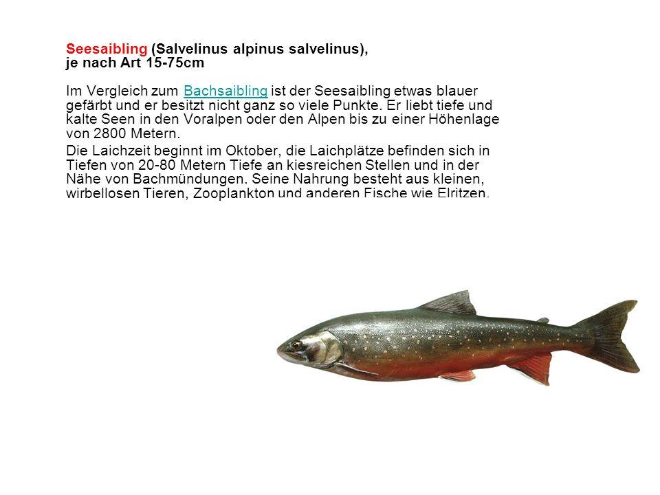 Seesaibling (Salvelinus alpinus salvelinus), je nach Art 15-75cm Im Vergleich zum Bachsaibling ist der Seesaibling etwas blauer gefärbt und er besitzt nicht ganz so viele Punkte.