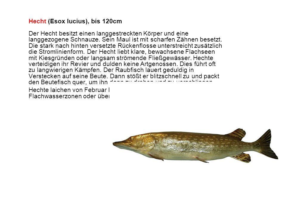 Hecht (Esox lucius), bis 120cm Der Hecht besitzt einen langgestreckten Körper und eine langgezogene Schnauze.