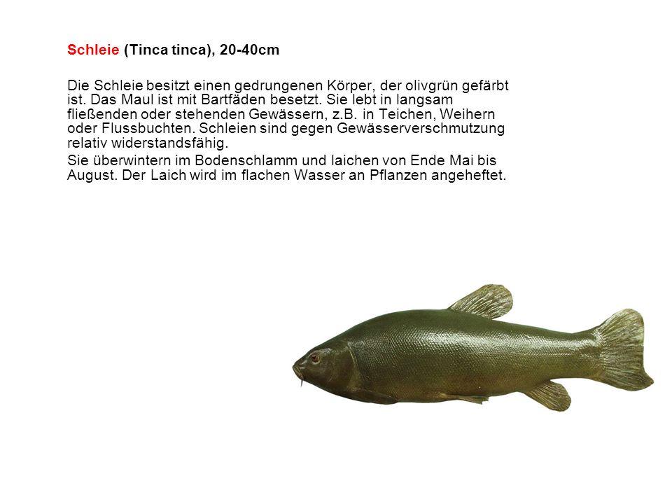 Schleie (Tinca tinca), 20-40cm Die Schleie besitzt einen gedrungenen Körper, der olivgrün gefärbt ist.